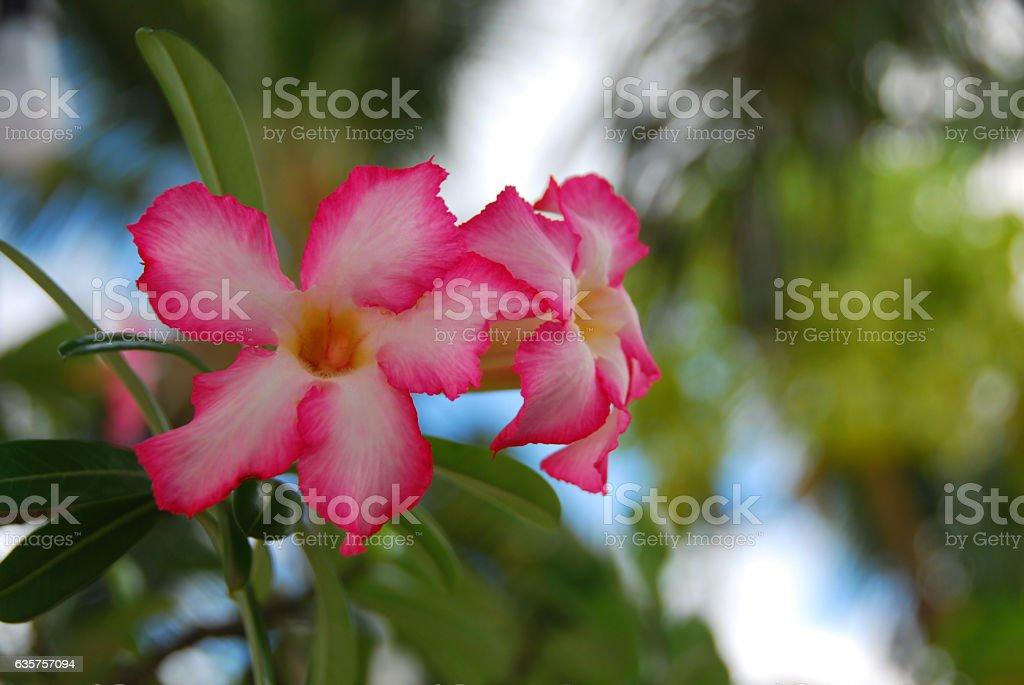 Blooming Adenium obesum between defocused palmtrees. stock photo