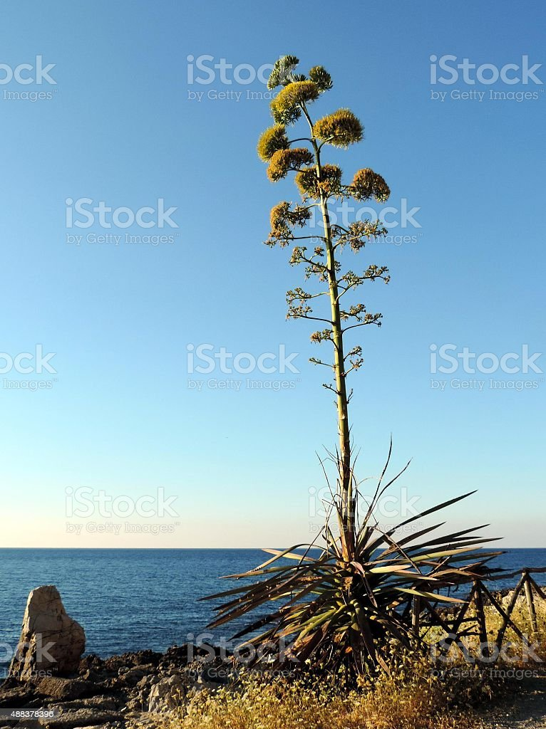 Blooming agave on a calm tyrrhenian sea background stock photo