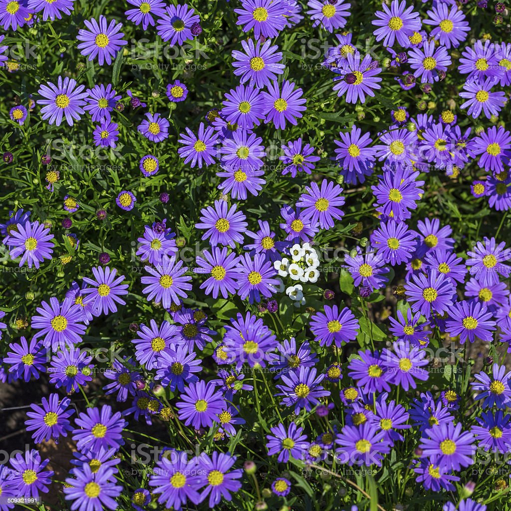 Blooming Alpine asters - Aster Alpinus stock photo