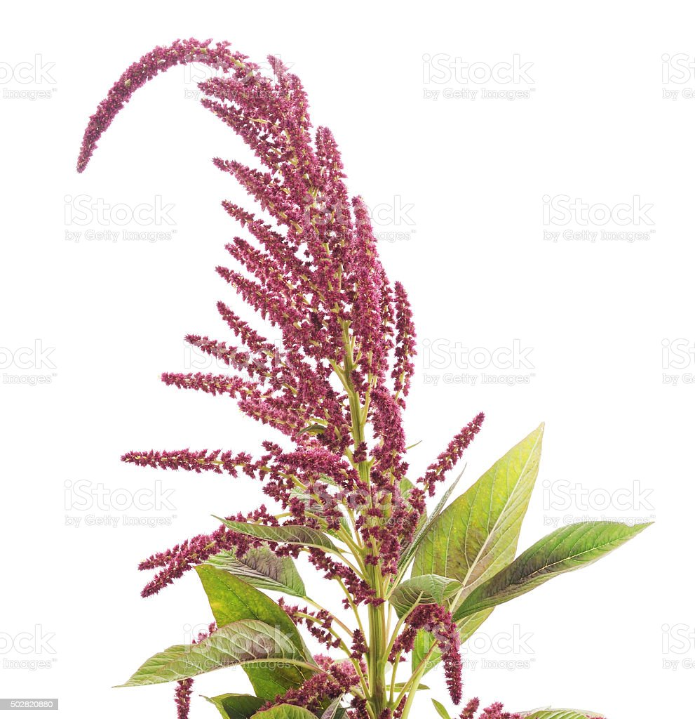 Blooming amaranth. stock photo