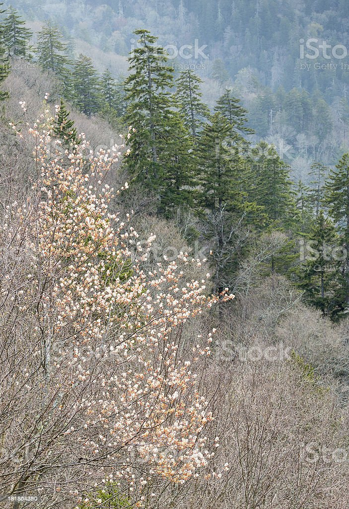 Blooming Amelanchier Tree stock photo