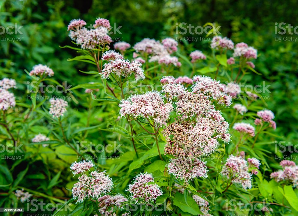 Blooming and overblown Valerian plants from close stock photo