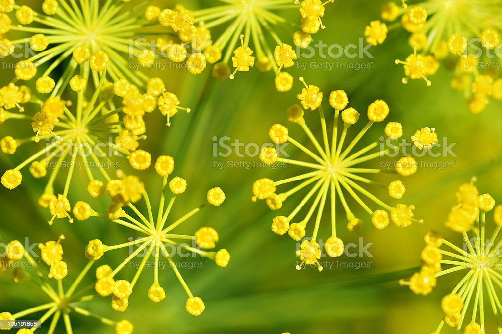 Blooming anise royalty-free stock photo
