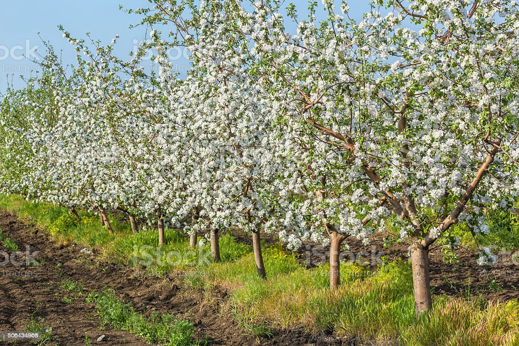 Blooming apple orchard in spring evening stock photo