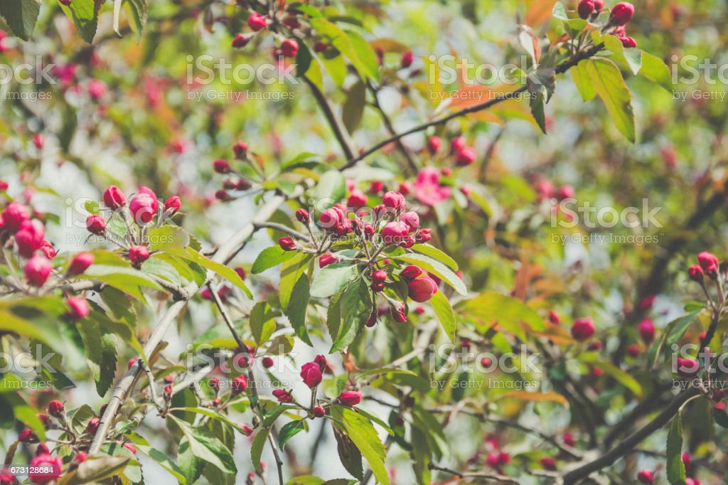 Blooming Apple orchard. Red flowers of Apple tree stock photo
