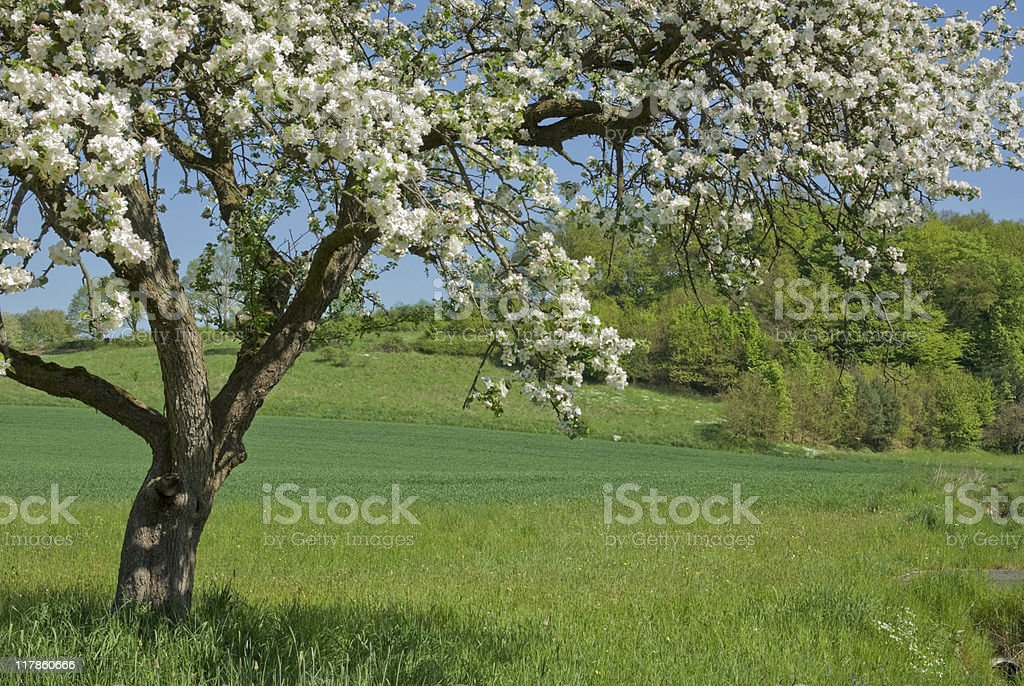 Blooming apple tree over a green meadow royalty-free stock photo