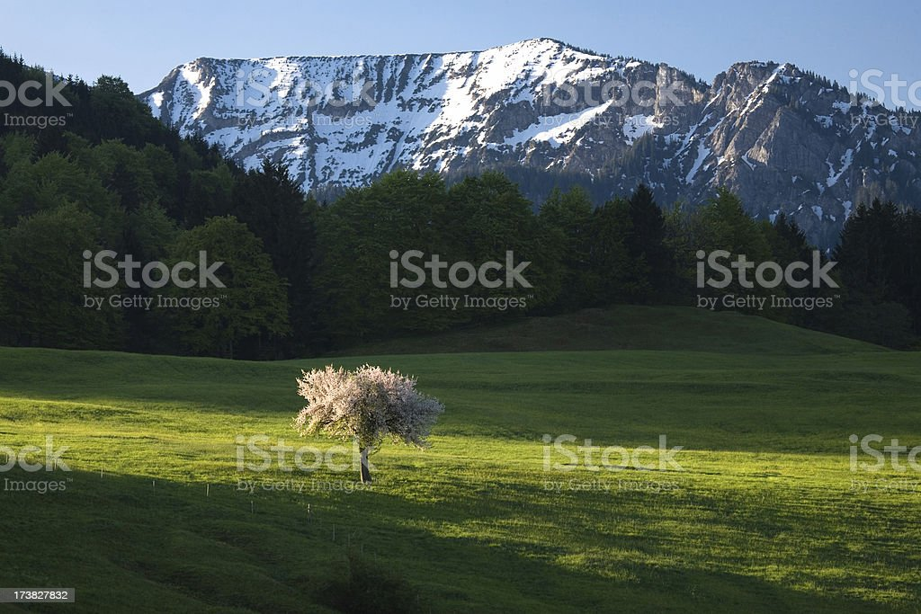 blooming apple tree royalty-free stock photo
