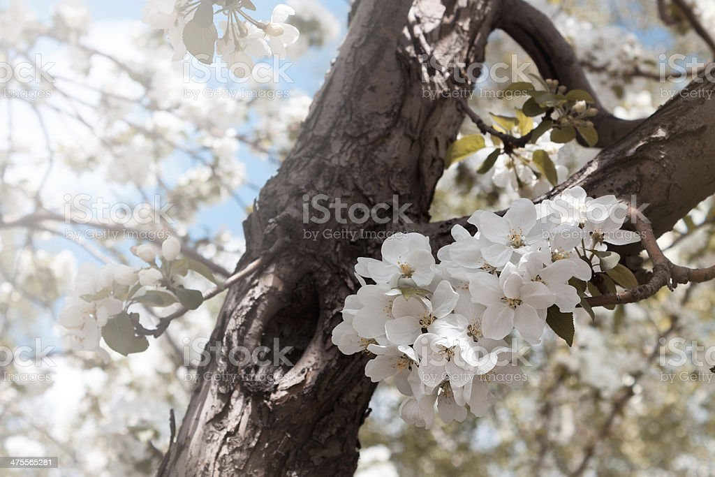 Blooming apple tree. royalty-free stock photo