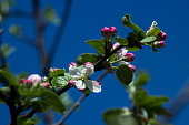Blooming apple tree with blue sky