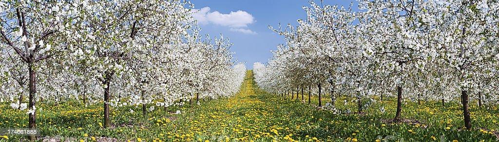 Blooming apple trees 35MPix XXXXL royalty-free stock photo