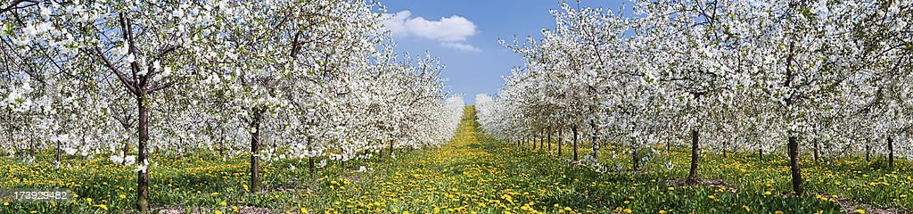 Blooming apple trees 43MPix XXXXL royalty-free stock photo
