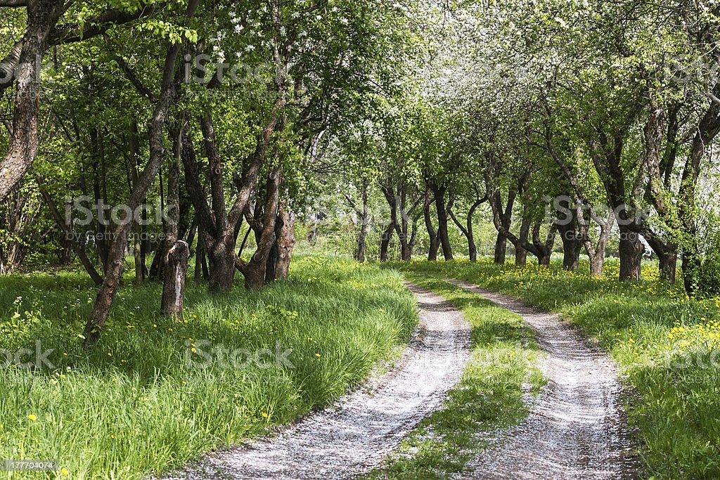 Blooming apple trees garden stock photo