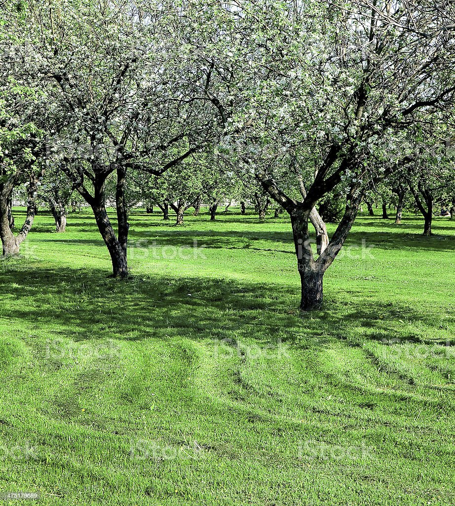 blooming apple trees garden royalty-free stock photo
