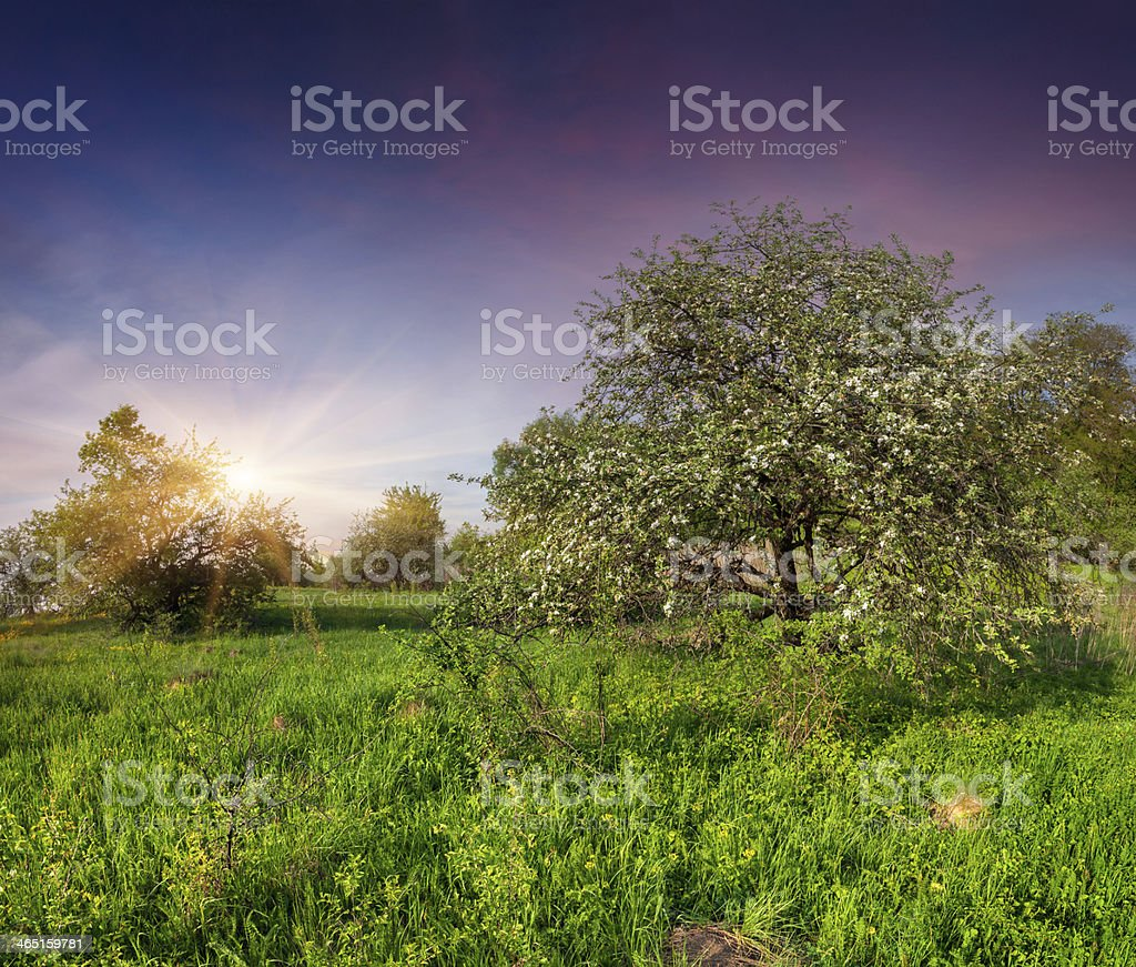 Blooming apple trees in the garden at spring royalty-free stock photo