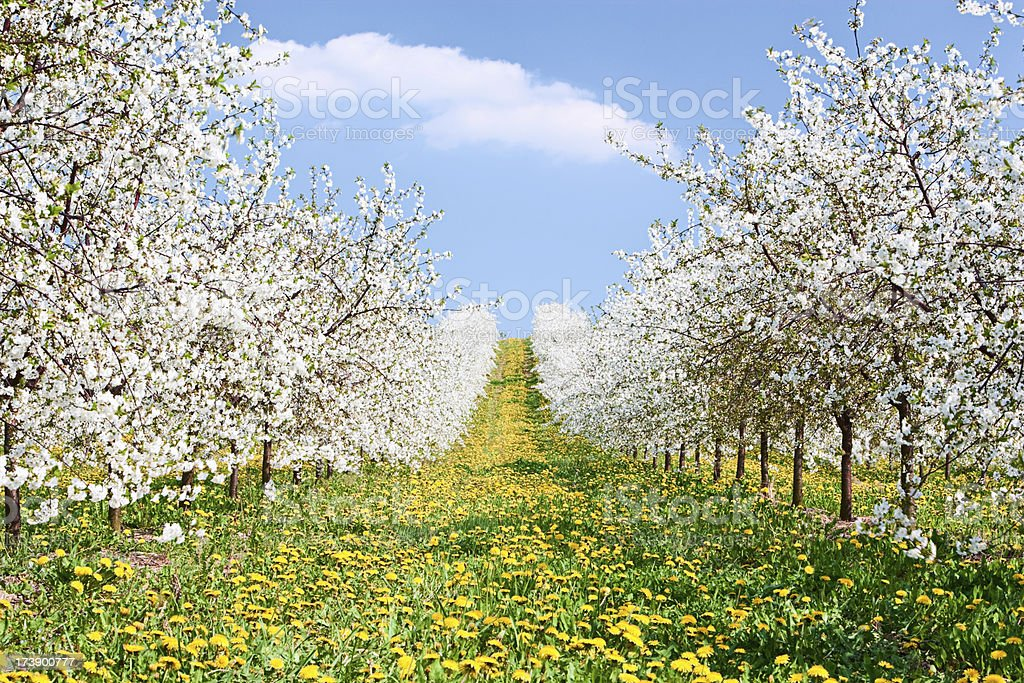 Blooming apple trees royalty-free stock photo
