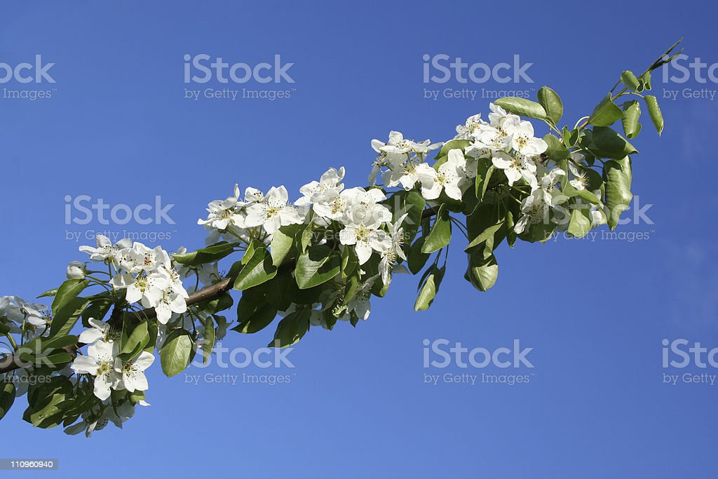 Blooming apple-tree branch. royalty-free stock photo