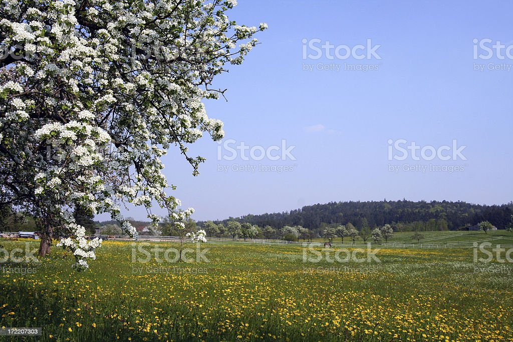 Blooming appletree with meadow royalty-free stock photo
