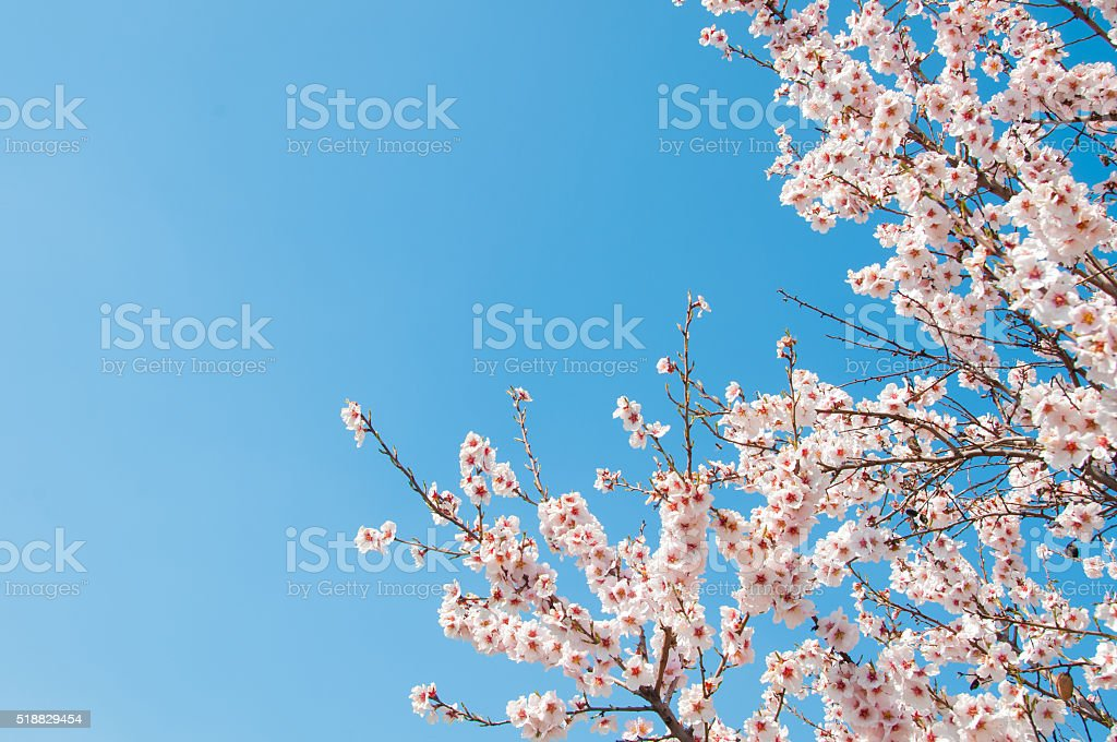 Blooming apricot stock photo