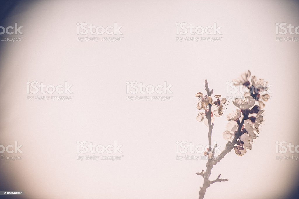 Blooming apricot tree stock photo