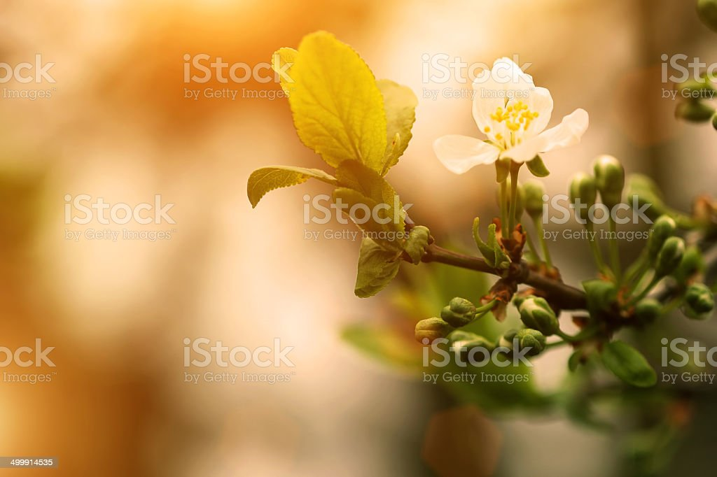 blooming apricot tree twigs at sunrise time stock photo