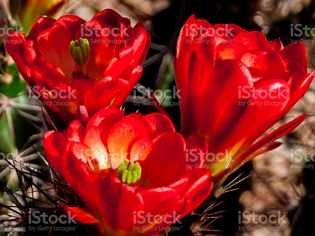 3 Blooming Arizona Hedgehog Cactus in Spring stock photo