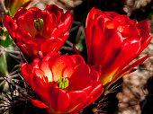 3 Blooming Arizona Hedgehog Cactus in Spring