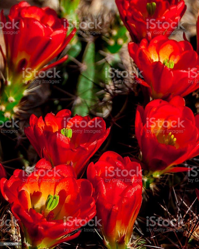 Blooming Arizona Hedgehog Cactus in Spring stock photo