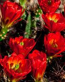 Blooming Arizona Hedgehog Cactus in Spring