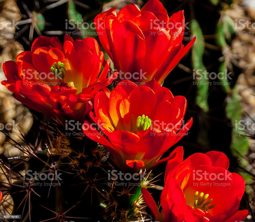 Blooming Arizona Hedgehog Cactus in the Spring stock photo