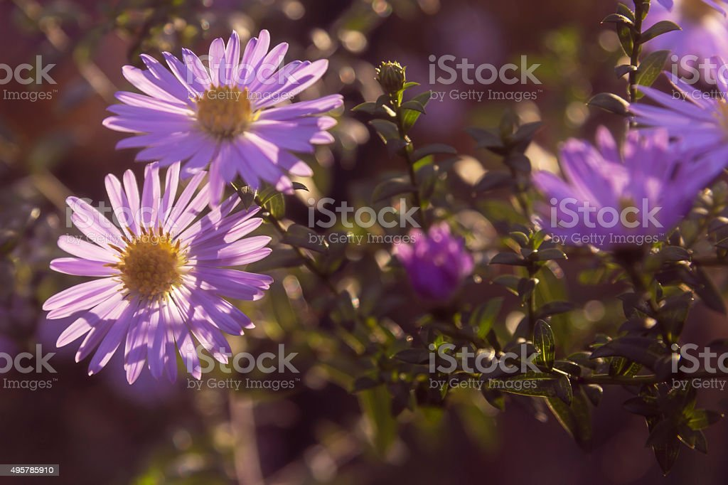 Blooming Aster himalaicus stock photo