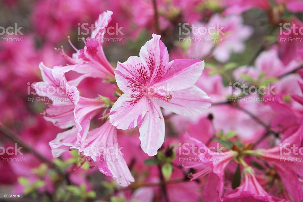 Blooming Azalea stock photo