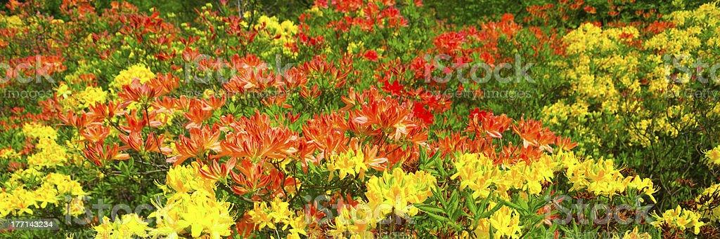 Blooming Azaleas royalty-free stock photo