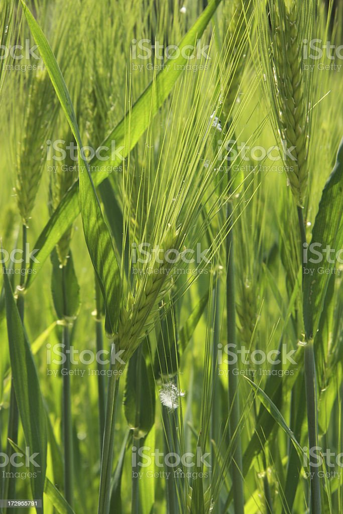 blooming barley stock photo
