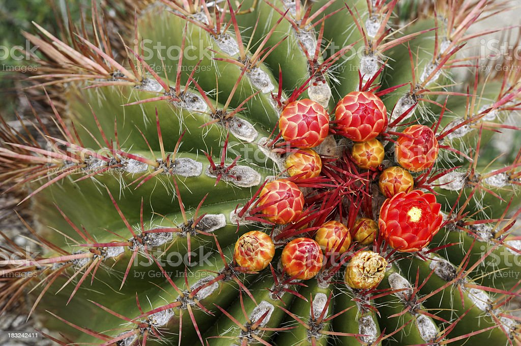 Blooming Barrel Cactus royalty-free stock photo