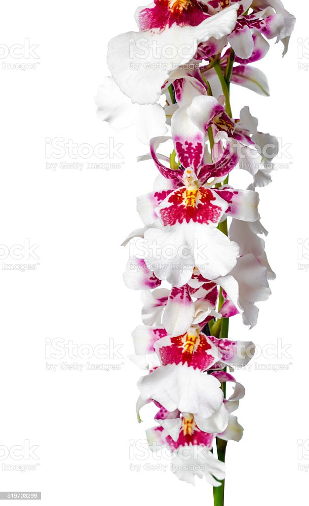 Blooming beautiful branch of dark cherry with white orchid stock photo