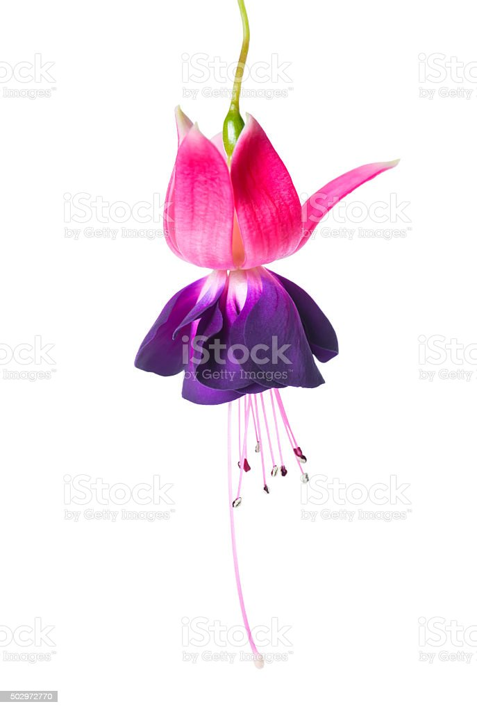 blooming beautiful single flower of violet and red fuchsia stock photo