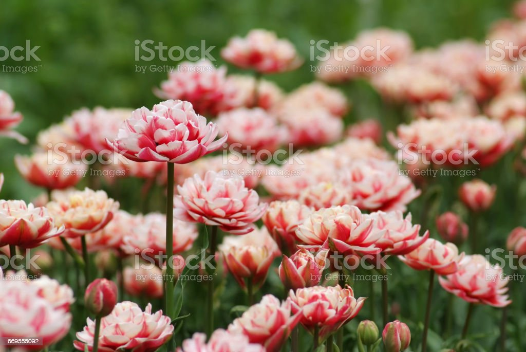 Blooming bi-colored tulips stock photo