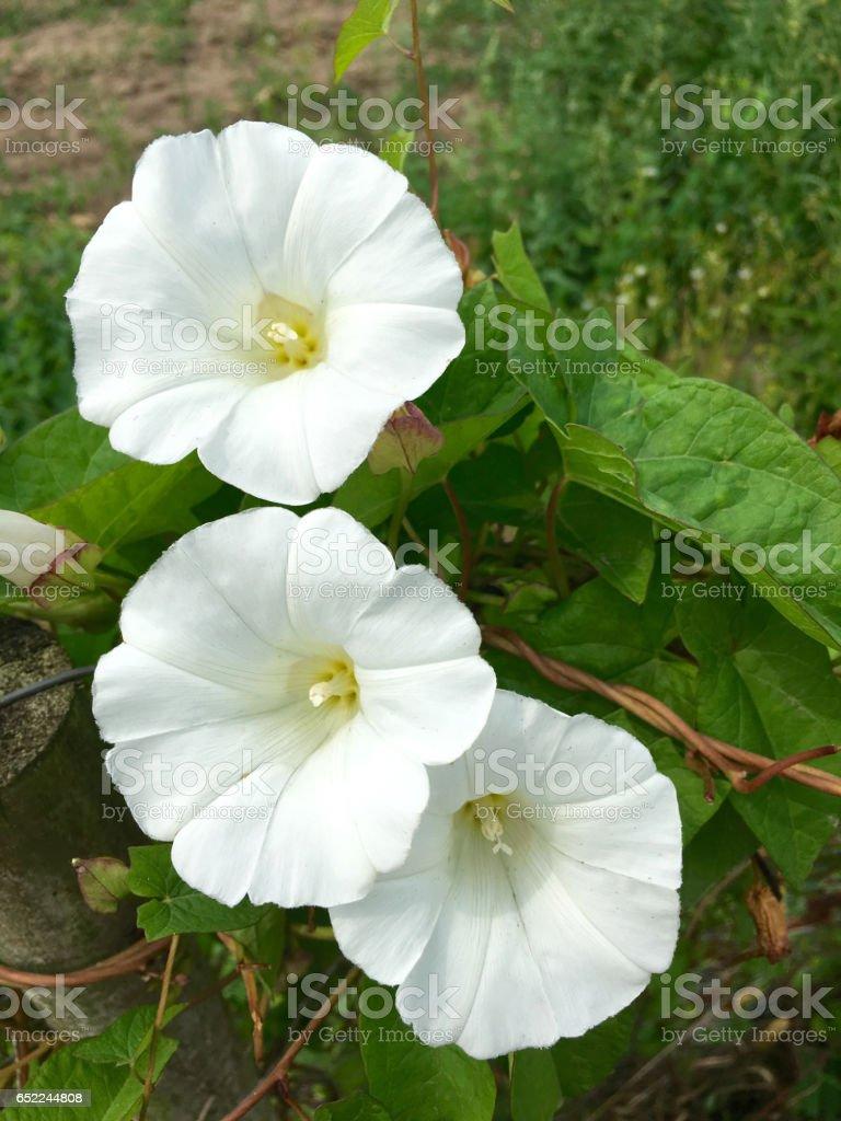 Blooming bindweed on rural stock photo