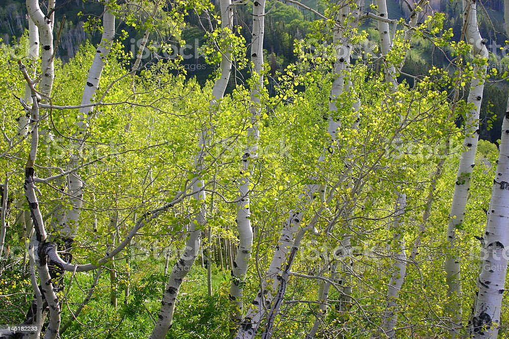 Blooming Birch Trees royalty-free stock photo