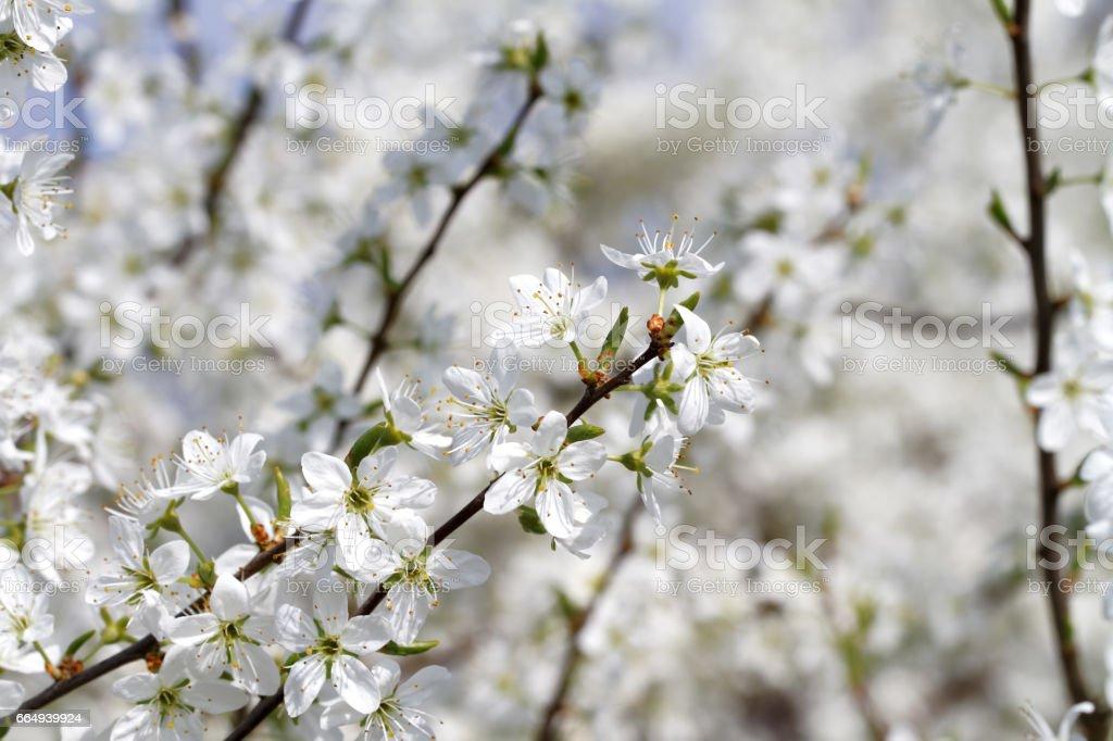 Blooming Blackthorn ( Prunus spinosa ) – Foto