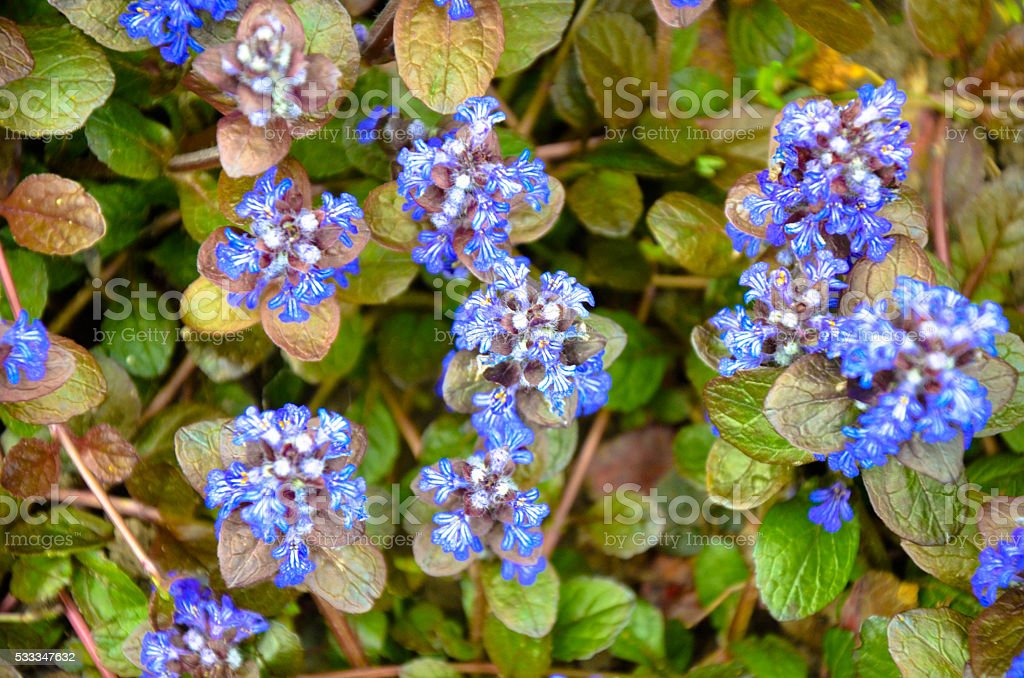 Blooming blue bugleweeds Ajuga in the summer meadow stock photo