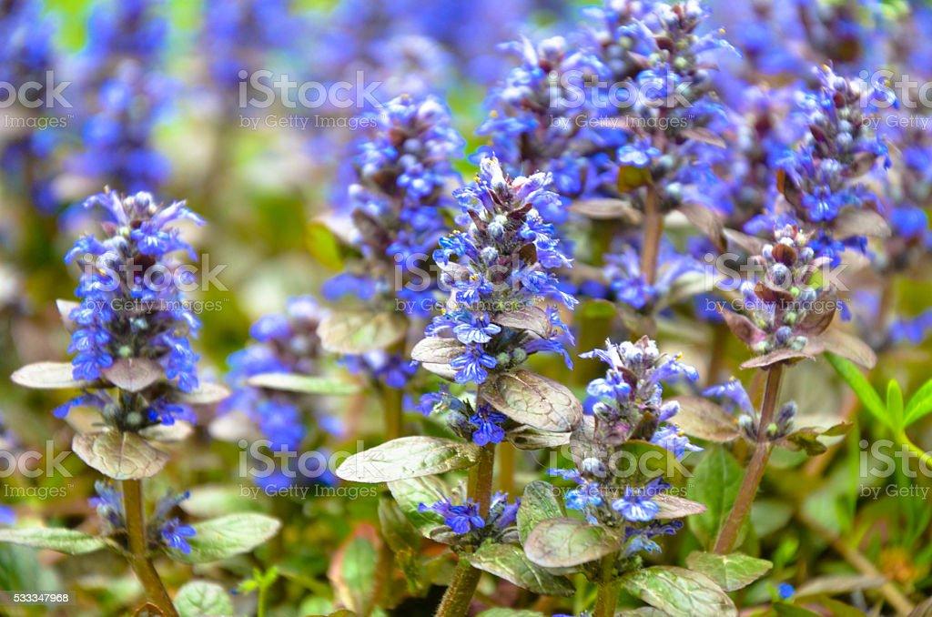 Blooming blue bugleweeds Ajuga in the summer meadow stock photo