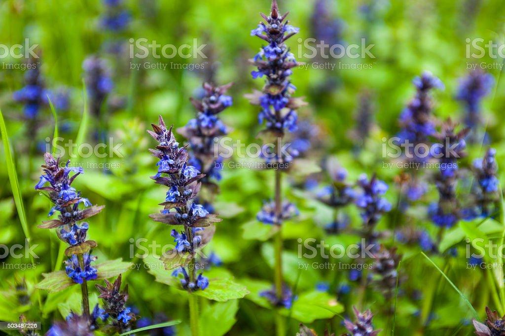 Blooming blue bugleweeds stock photo