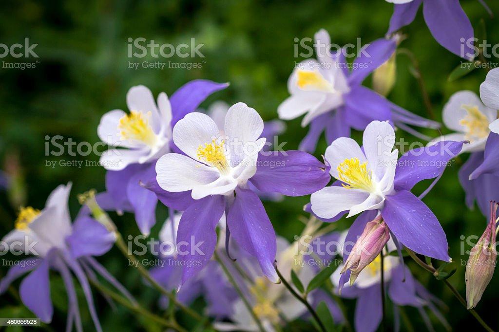Blooming Blue Columbine Wildflower stock photo