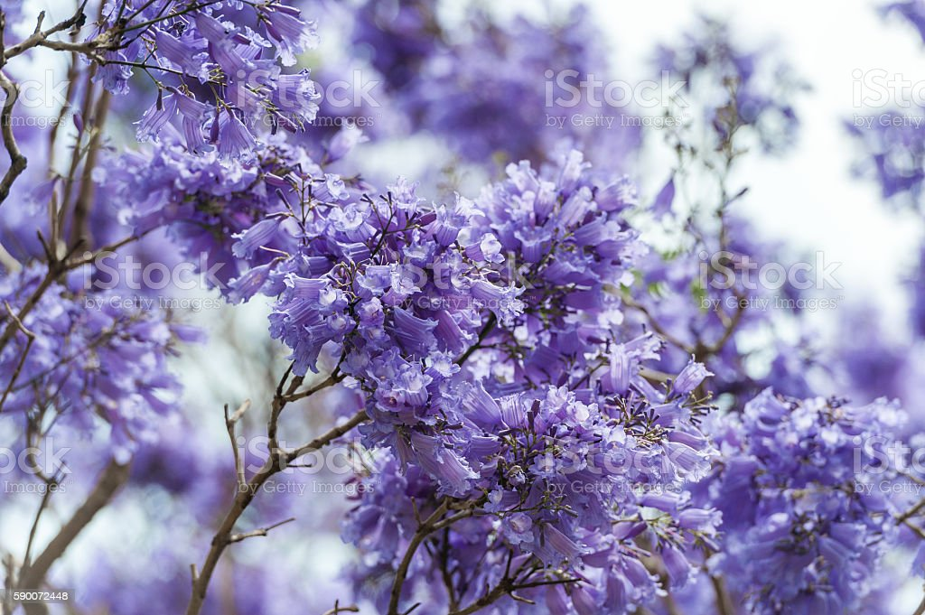 Blooming Blue Jacaranda Tree in Sydney Royal Botanic Gardens stock photo