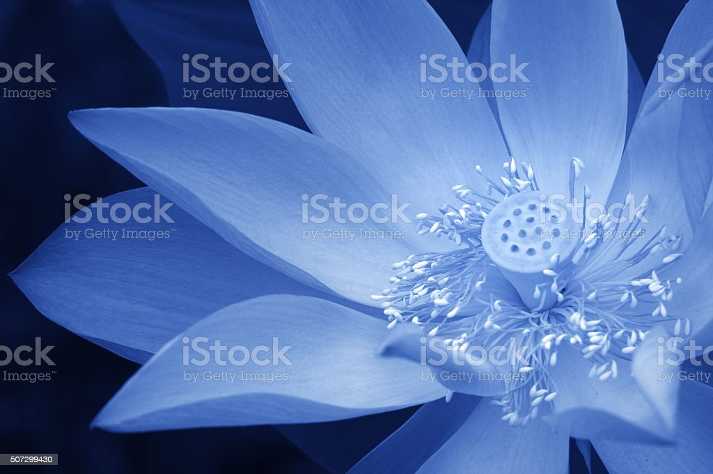 Blooming blue lotus flower stock photo