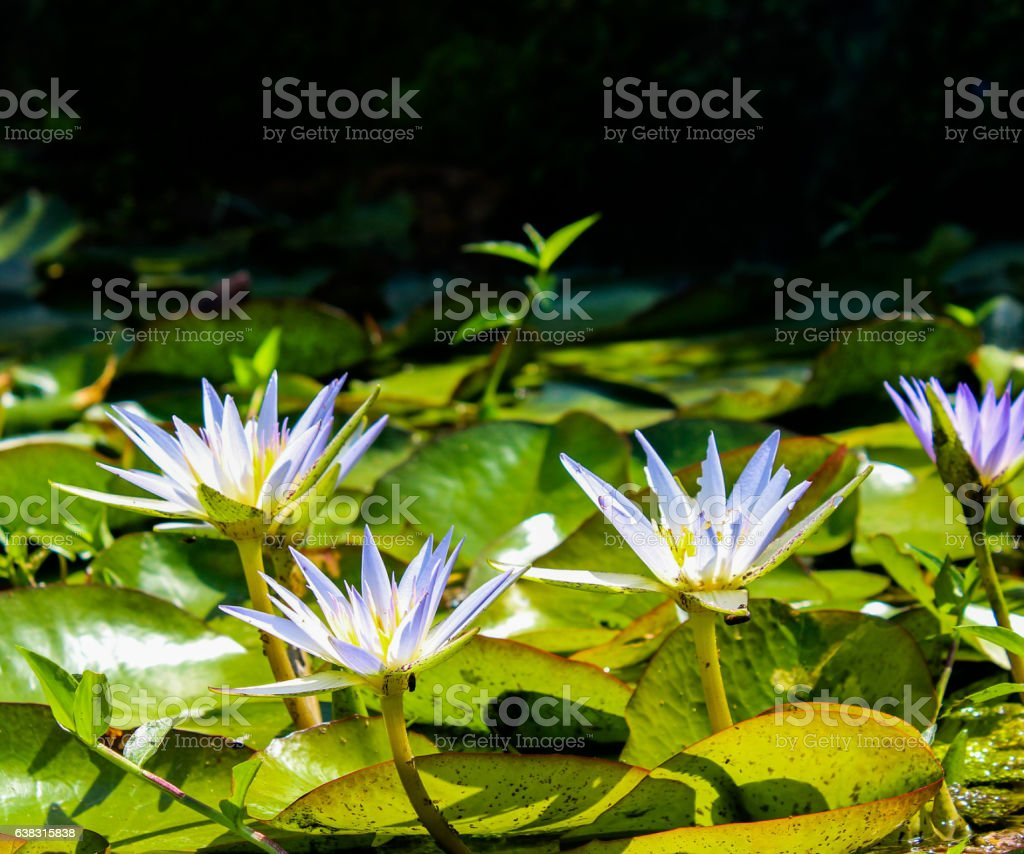 Blooming Blue water lily stock photo