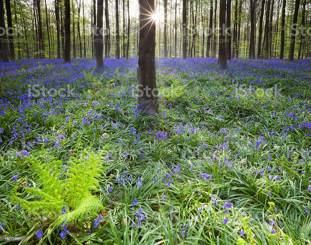 Blooming bluebell forest of Hallerbos in Belgium in morning sunlight royalty-free stock photo