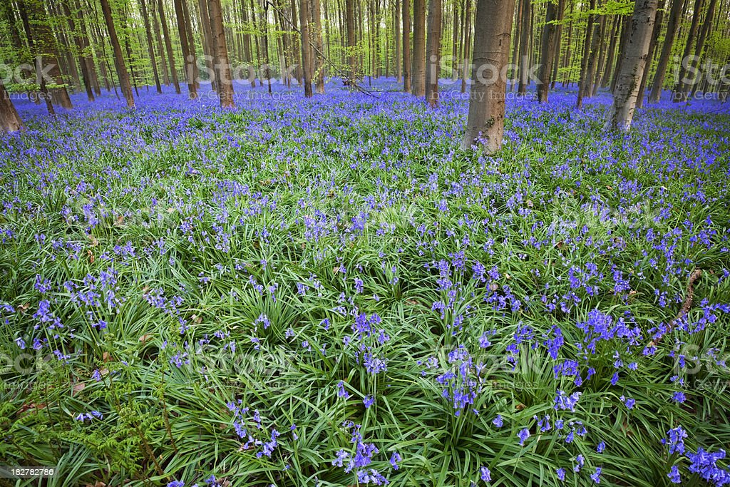 Blooming bluebell forest of Hallerbos in Belgium in spring royalty-free stock photo