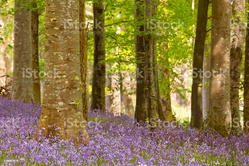Blooming bluebells in Northern Ireland stock photo